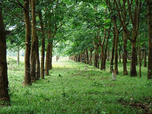 Rừng cao su Dầu tiếng, Bán rừng cao su, Bán rẫy cao su Bình Dương, Bán rừng cao su 10 năm tuổi, Bán đất rừng tịa Bình Dương, Bán rừng huyện Dầu Tiếng